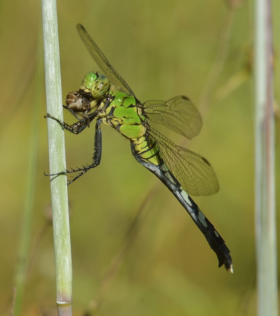 Eastern pondhawk, Erythemis simplicollis, with prey, on chalky bluestem