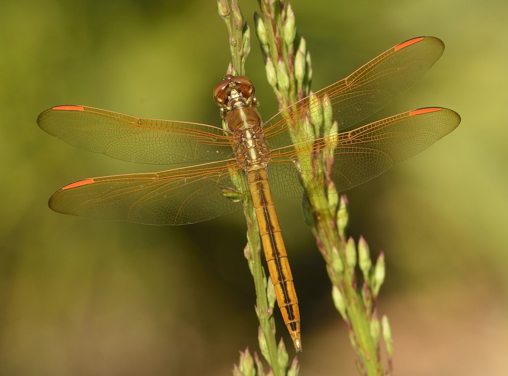 Common and stunningly beautiful - golden-winged skimmer, Libellula auripennis