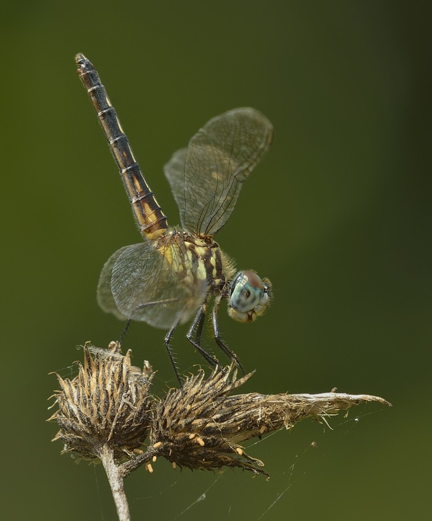Blue dasher obelisking.  In obelisking behavior, the ode points its abdomen directly at the sun to prevent overheating