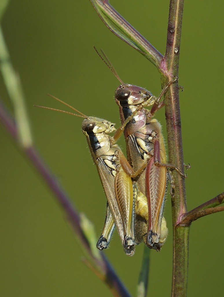 Atlantic grasshoppers, Paroxya clavuliger, procreating.