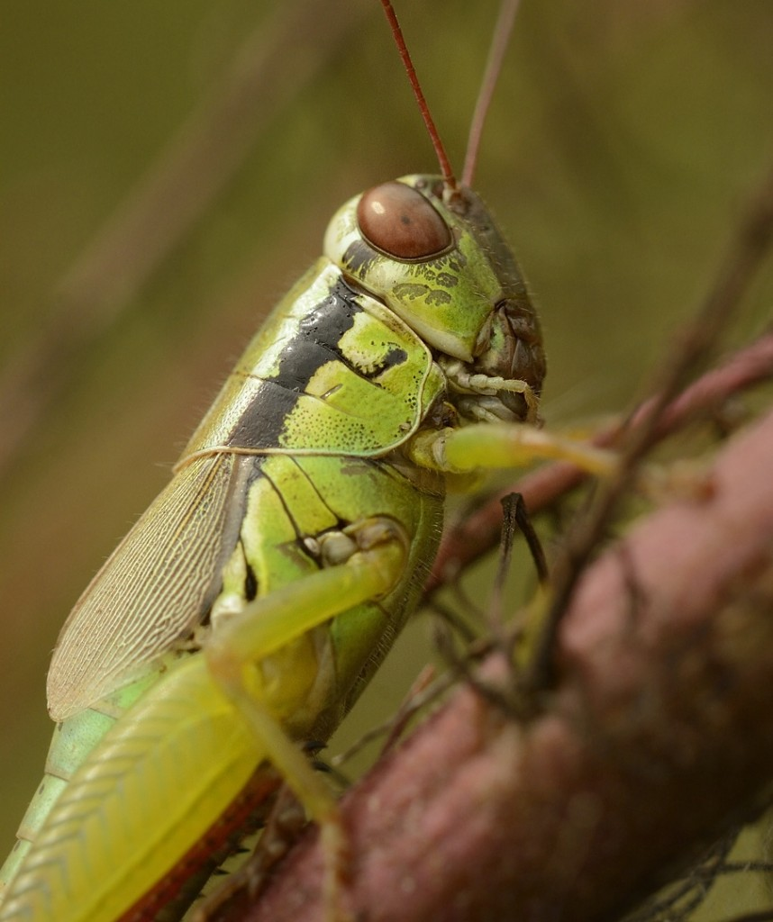 The olive-green swamp grasshopper, Paroxya clavuliger