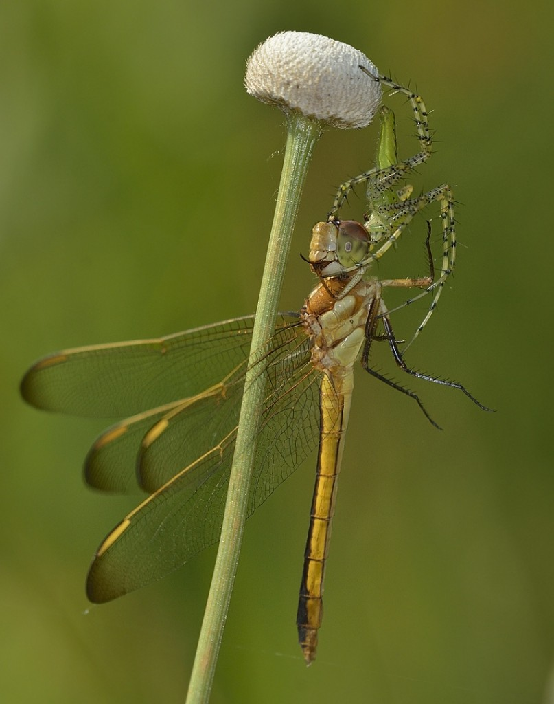 Dragonfly (Libellula sp) prey