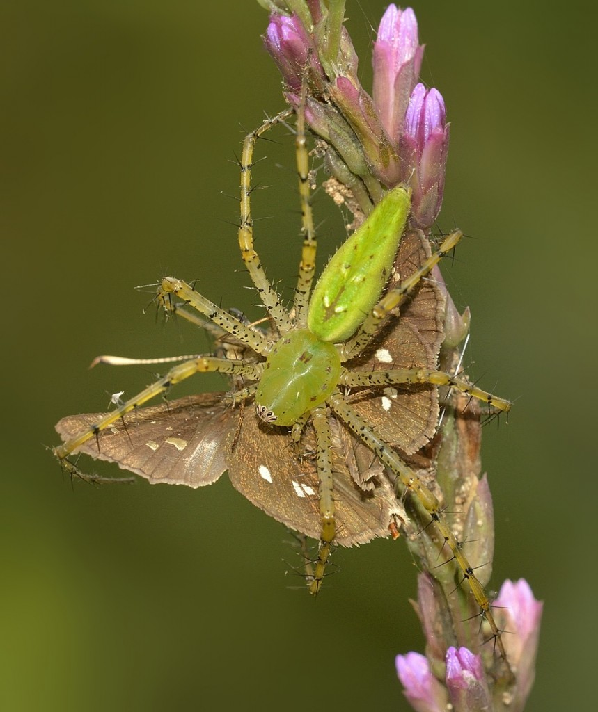 Skipper prey
