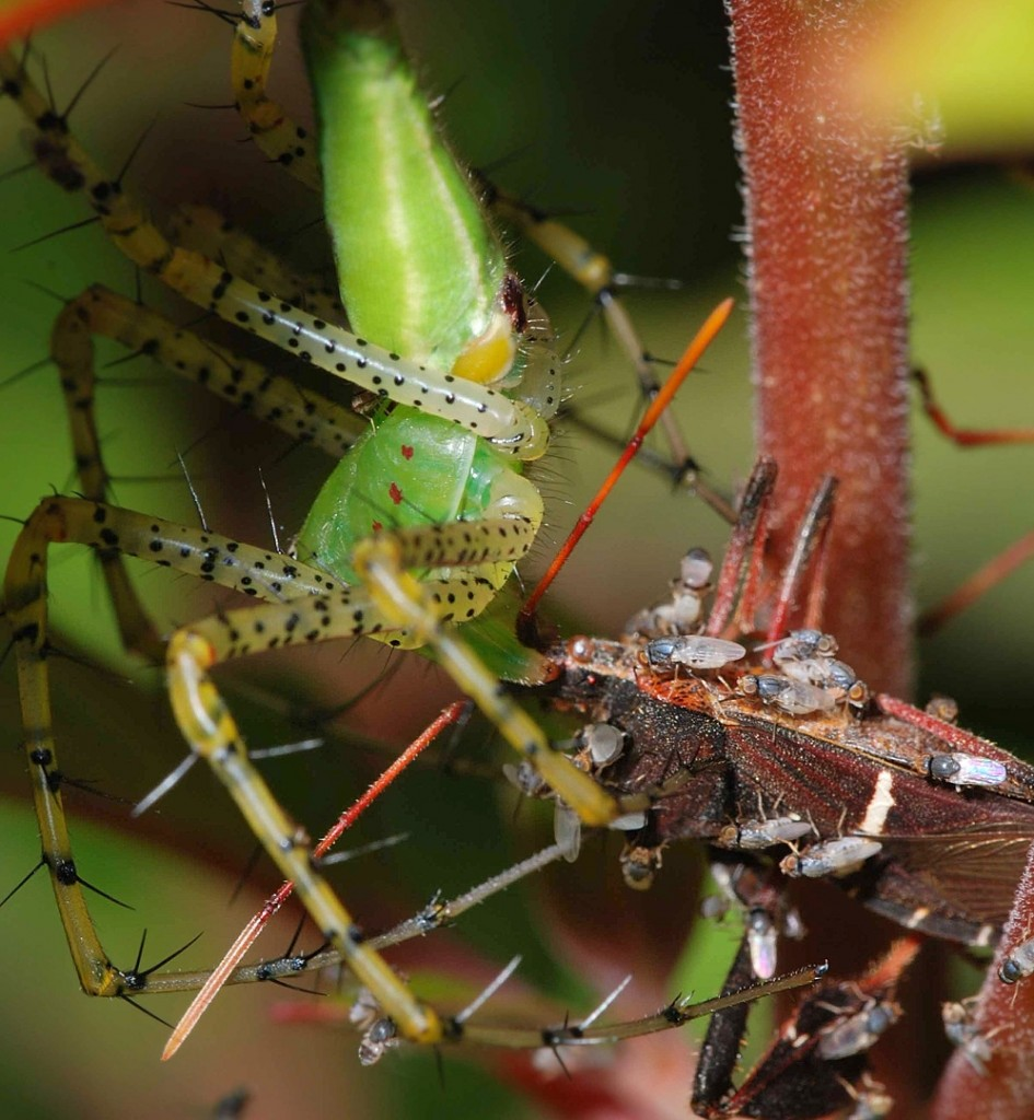 This leaf-footed bug (Leptoglossus phyllopus) being eaten by the spider is also hosting a big crowd of ceratopogonid flies sucking on the hemolymph.