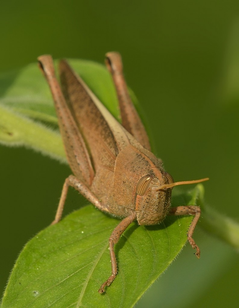 Schistocerca damnifica, the mischievous bird grasshopper