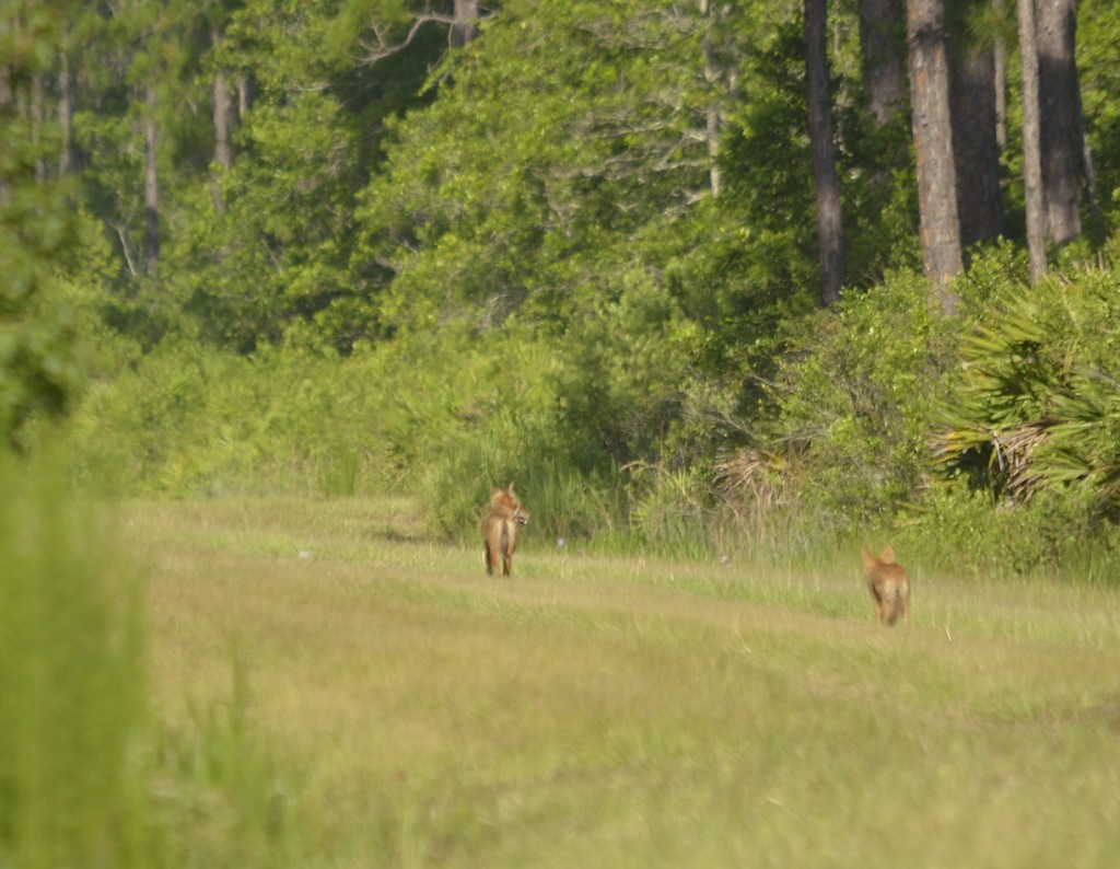 Coyote pups at Heart Island Conservation Area.