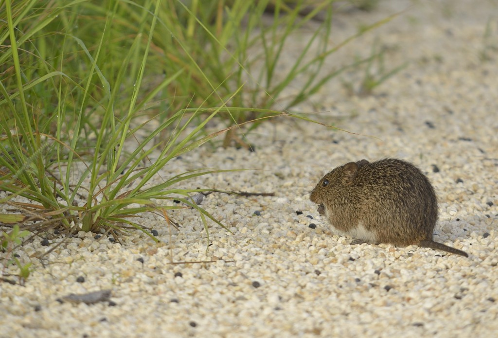 If I saw mammals like this Sigmodon hispidus more often, I'd probably like them better. But I don't.