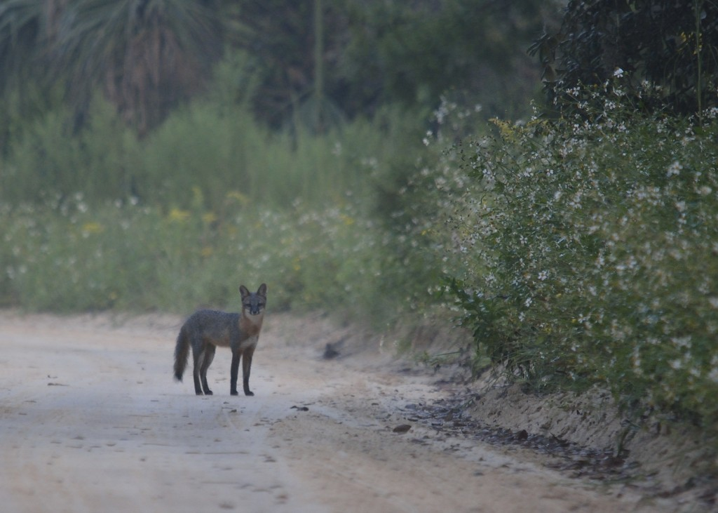 My first view of the gray foxes. Hard crop.