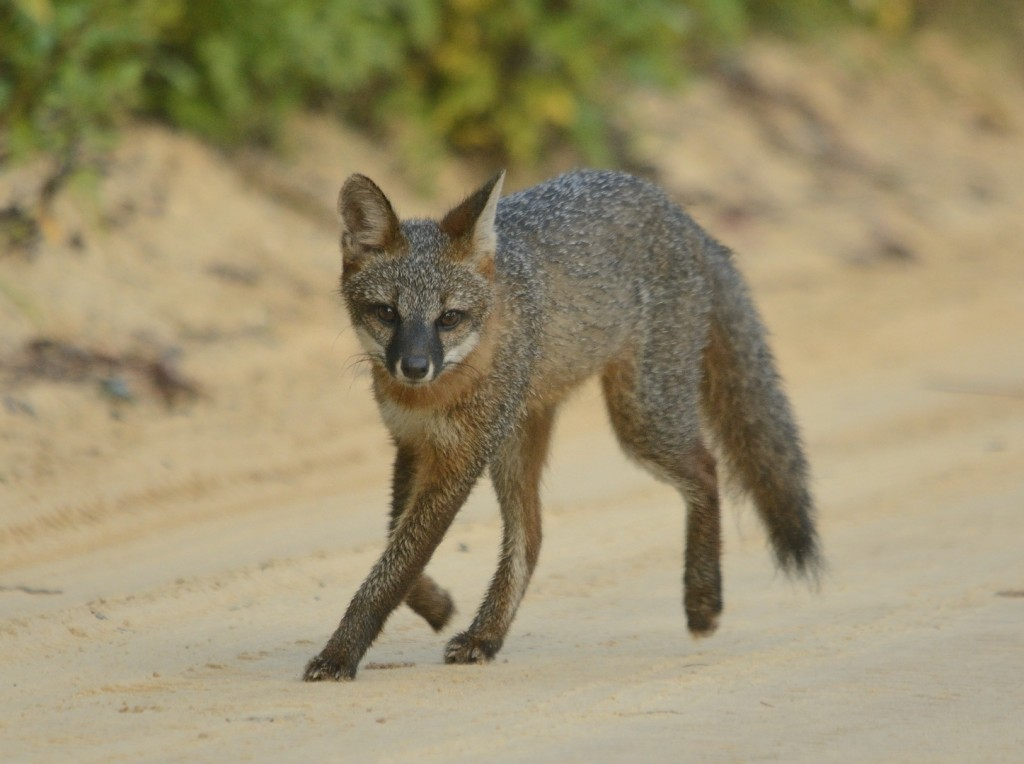 Intrigued gray fox in Ocala National Forest.
