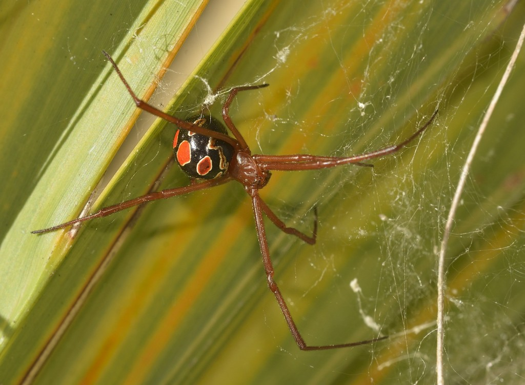 The red widow, Latrodectus bishopi, an endemic of scrub and an augur of good tidings.