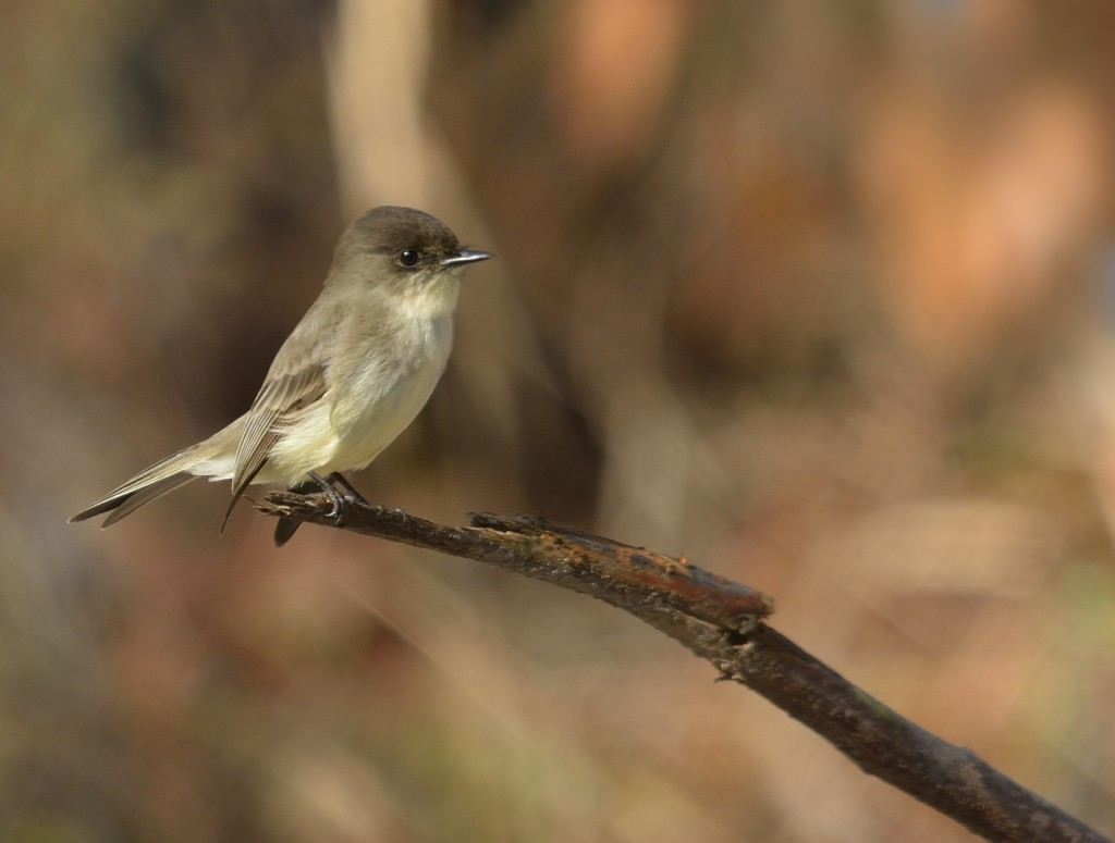 Eastern phoebe from Chesser Island.