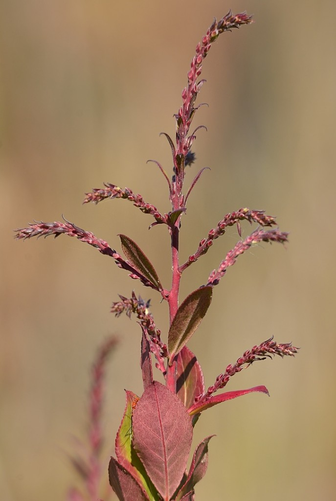 Swamp doghobble, Eubotrys racemosa.  These are young flowering spikes that will bloom sometime in early spring.