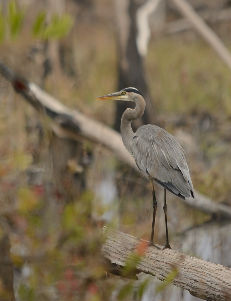 Great blue heron in the swamp.  Notice the fire-scarred trunks in the background; many of the plant communities in the swamp are fire-maintained.