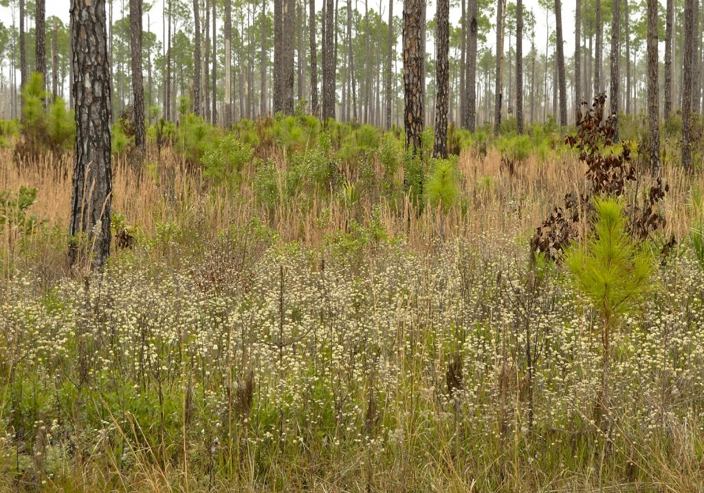 The habitat surrounding the swamp is overwhelmingly dedicated to 20-year rotation timber farming.   This includes a significant acreage in Okefenokee NWR.  This is a tract of young slash pines that have been thinned and burned.