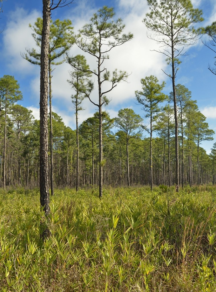 There were only a few hours of decent sun, on Tuesday afternoon, during the 3 days we were there.  This longleaf pine forest with cane understory is from the Suwannee Canal Recreation Area, on the east side of Okefenokee.