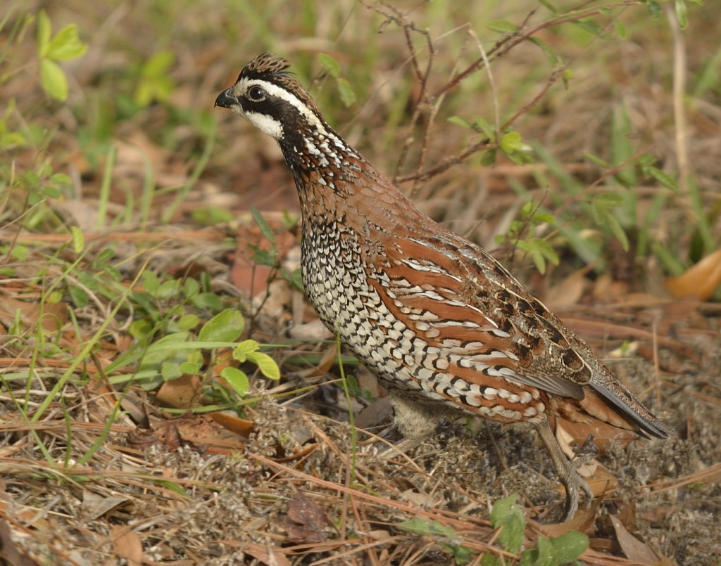 The scurried dash of a northern bobwhite as it crosses open ground is charming.