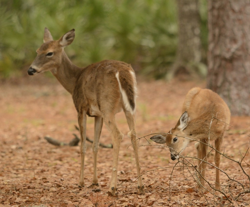 White-tailed deer were common and tame around the cabins at Stephen Foster State Park.
