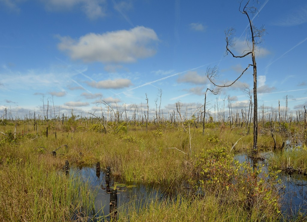 A magnificent 3/4 mile boardwalk into Chesser Prairie are of the Okefenokee provides stunning views of this landscape still showing the effects of the 2011 Honey Prairie fire, which was allowed to burn.  Charred posts from a previous boardwalk are still present.