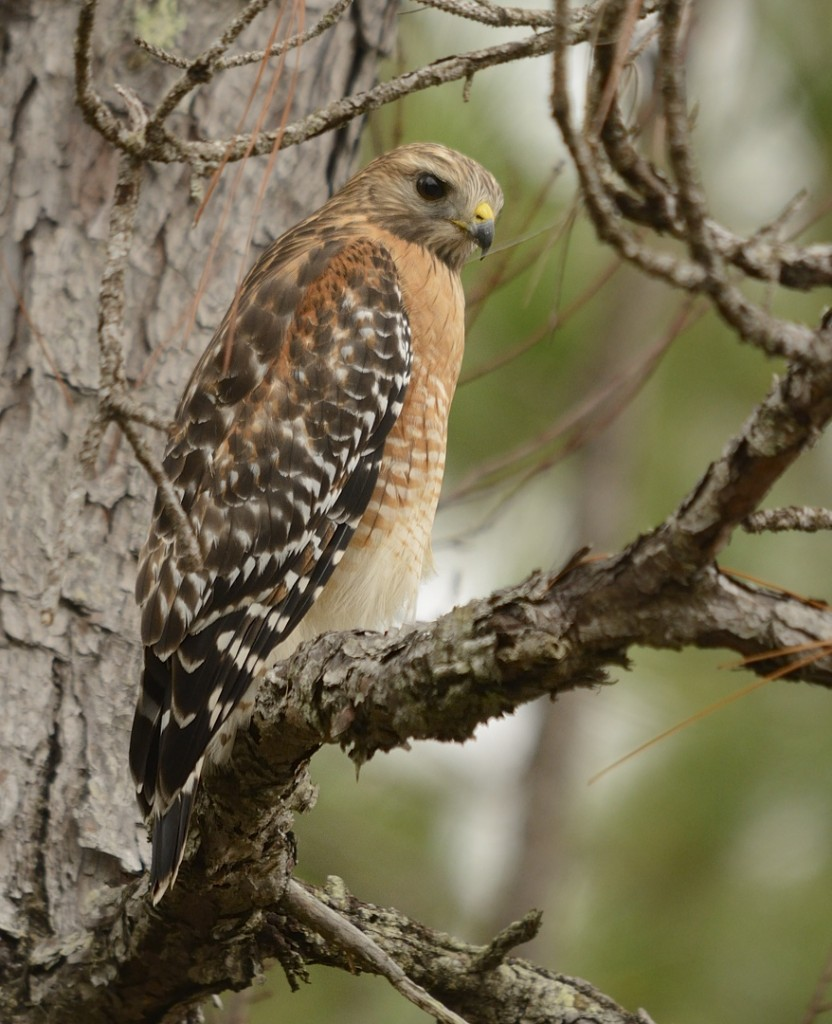 Red-shouldered hawks were abundant, many hunting the the grassy shoulders of the entry road.
