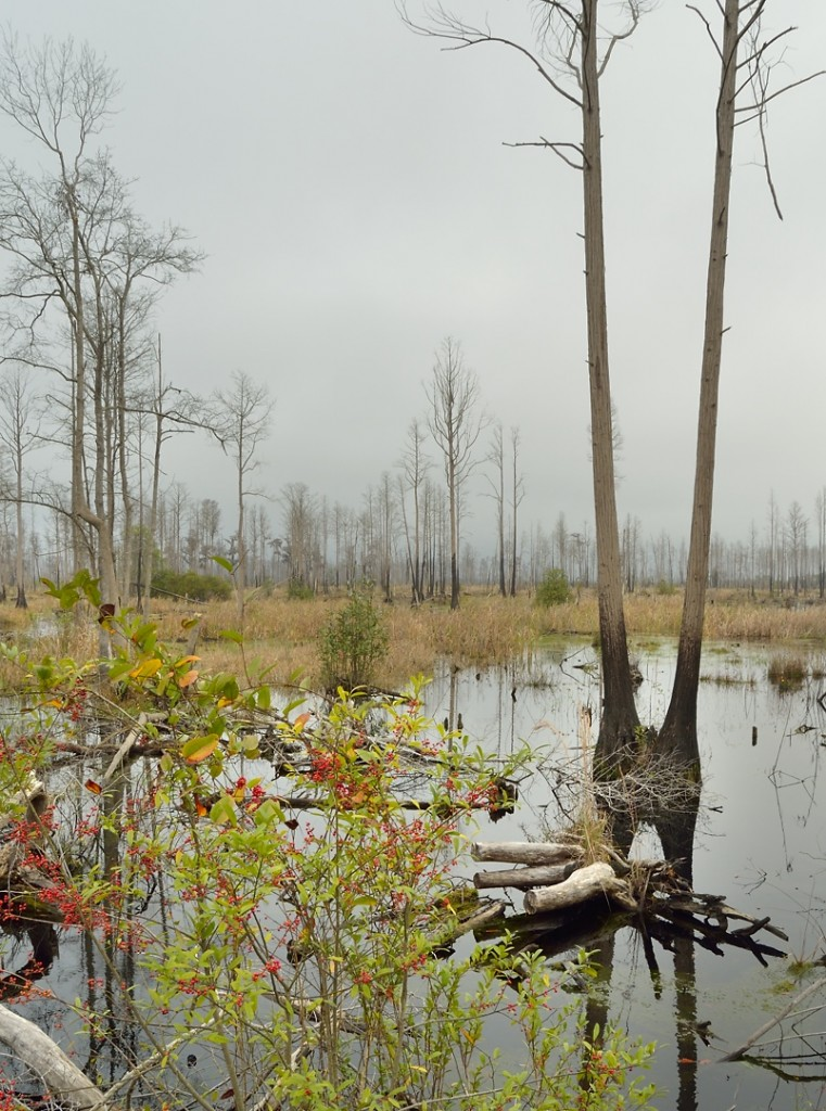 A gray morning in the Okefenokee Swamp.  This is in Stephen Foster State Park, on the west side of the Okefenokee