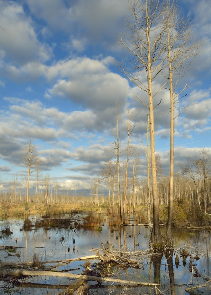 The last afternoon we were there produced the best light of the trip.  This shot of the Okefenokee from the boardwalk at Stephen Foster State Park was taken in late afternoon, as the window of sunshine was getting ready to close.