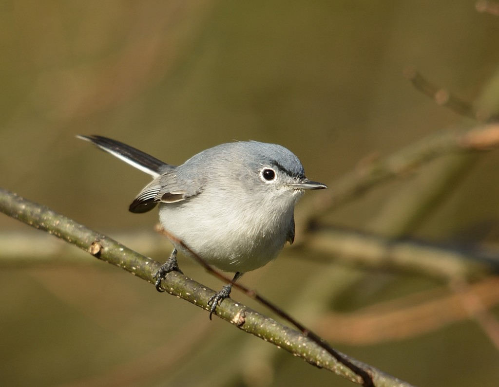 Mixed-species flocks of passerines were abundant and active in the hammocks along the wildlife drive and int the mixed habitat of the marshes and successional wetlands.  Lots of blue-gray gnatcatchers.