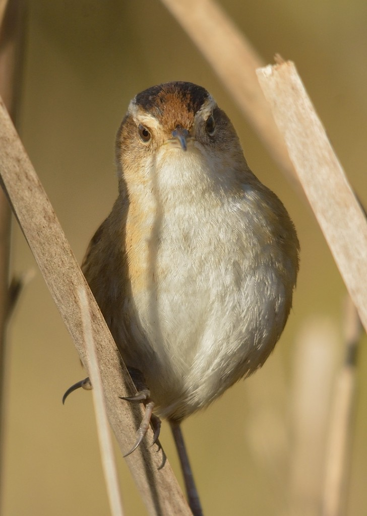 This marsh wren was working a clump of dead cattails right by the road on the T-J section of the wildlife drive.  Though he came within 10' of me, he never came completely out in the open for a profile shot.