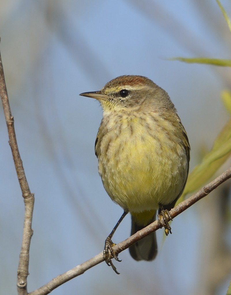 A brighter western palm warbler, starting to show a bit of breeding plumage in his rusty cap.