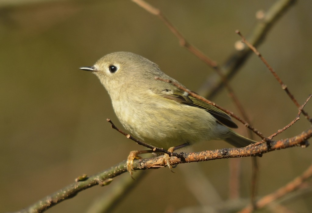 Ruby-crowned kinglets were nearly as abundant as the gnatcathers.  I saw the ruby crown a couple of times, briefly.