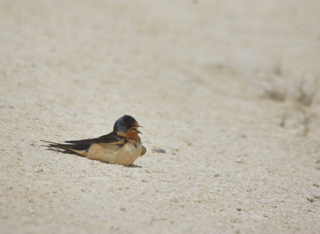 By mid-day, it was getting quite toasty.  Barn swallows were basking on the hot shell rock roads, overheating to the point that they were panting to cool down.  Why?  Probably to kill ectoparasites with the heat load.