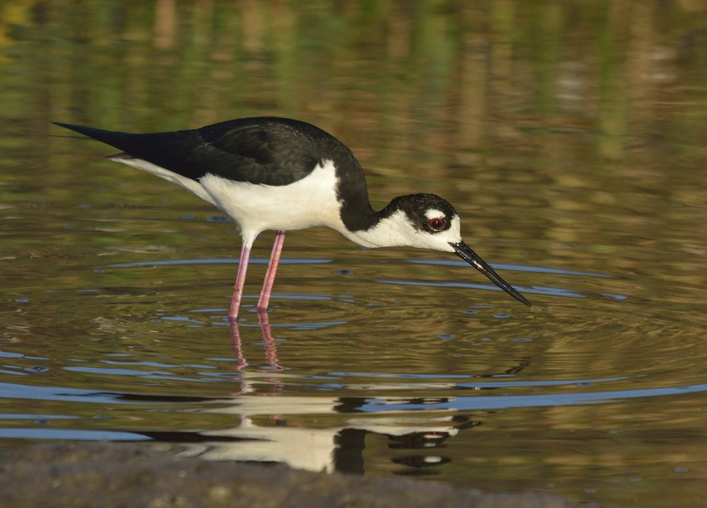 Black-necked stilt snags a mosquitofish