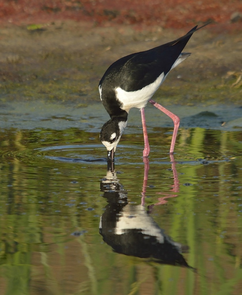 Black-necked stilts are very active foragers, frequently submerging their entire head searching for prey.