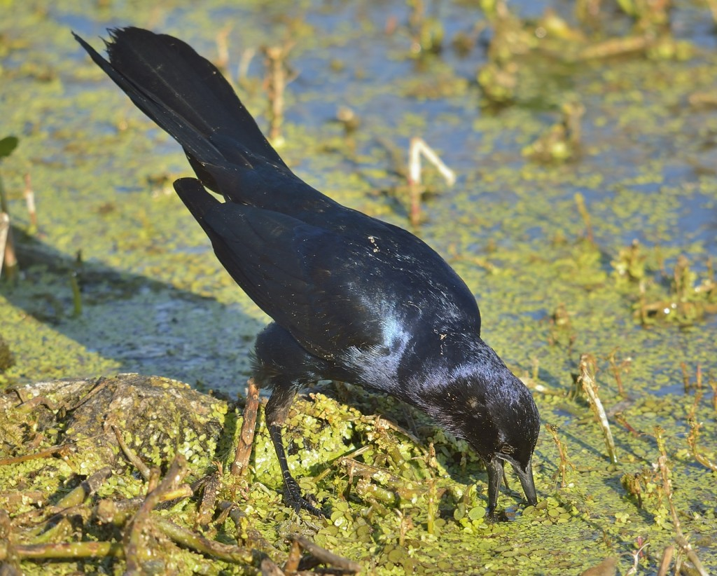 "This boat-tailed grackle was engaged in ""gaping behavior"".  They insert their beak into some substrate and open it to push aside obstructions.  Many icterids use this behavior to find soil invertebrates, but this male was using it to open a little hole in the duckweed through which he could peer down into the water."
