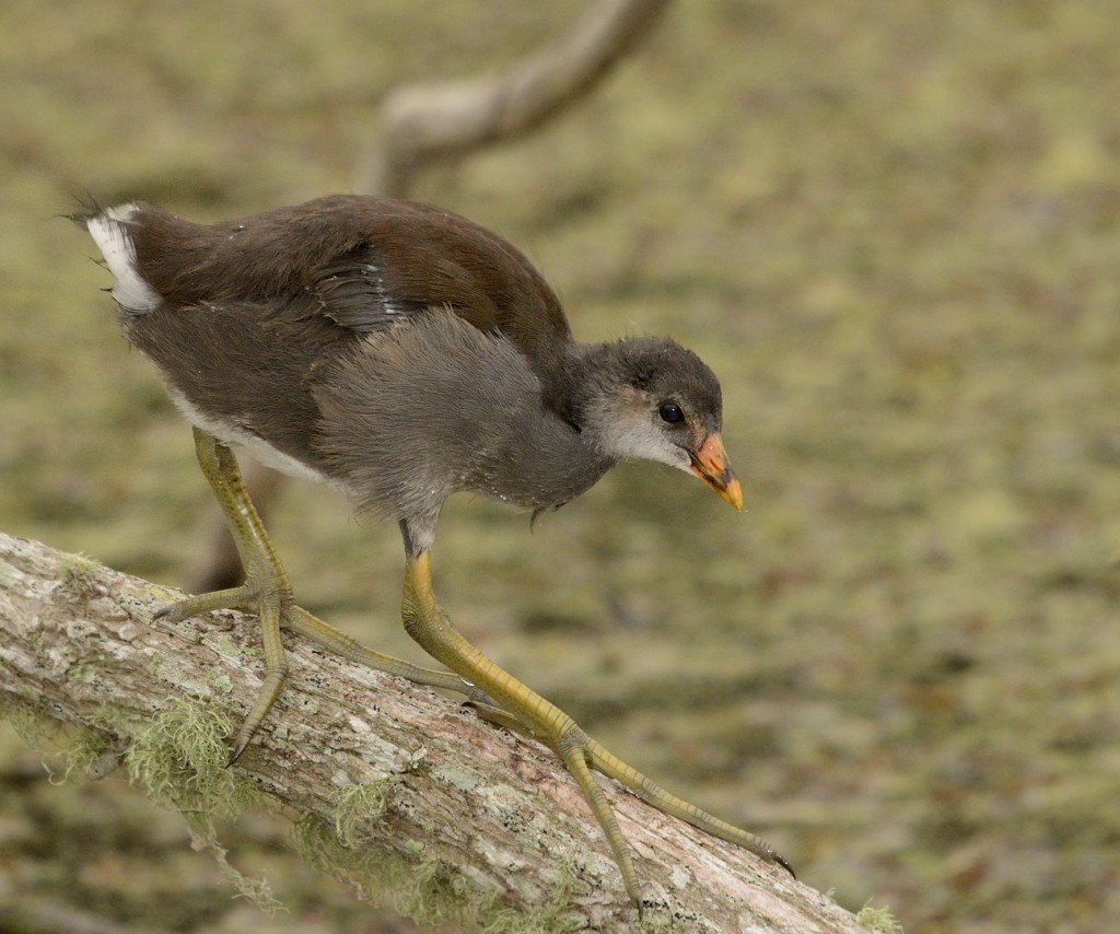Common moorhens and their broods were once again one of the most entertaining sights.