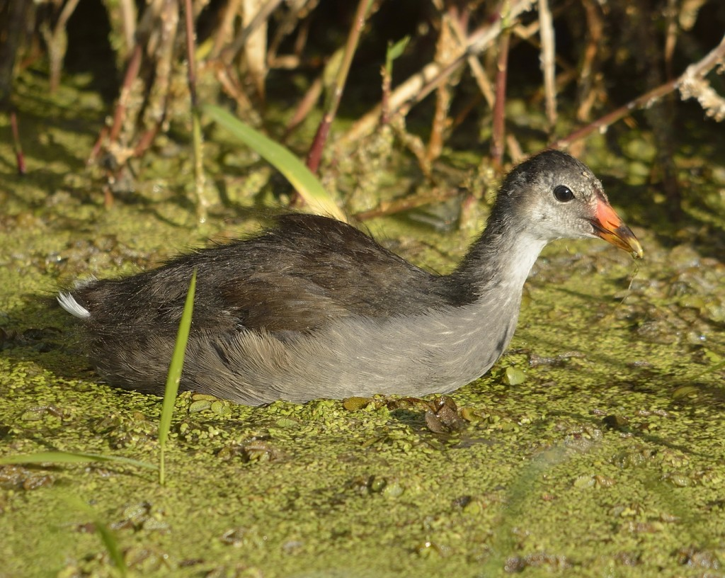 This half-grown juvenile common gallinule was all by his lonesome.  Perhaps the only surviving member of his brood.