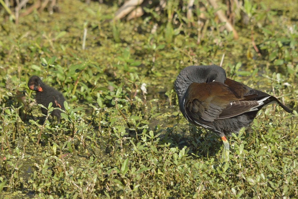 Common gallinules are attentive parents.  This one was teaching her youngster how to preen.