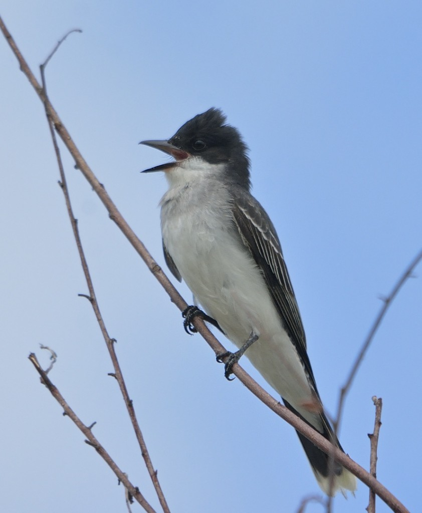 Eastern kingbird.  I don't see this species often in central Florida except as a migrant in passage.  This bird is probably a breeder.