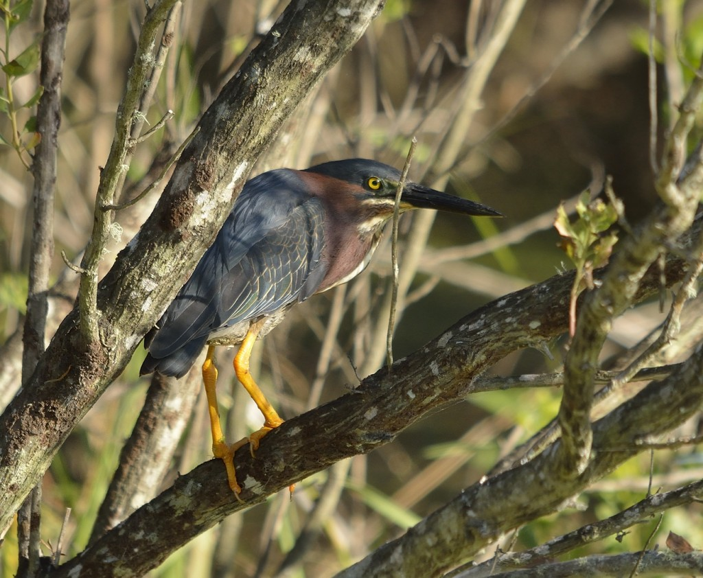 Green herons were omnipresent, but a bit skittish.  Not many photo ops for these shy guys.