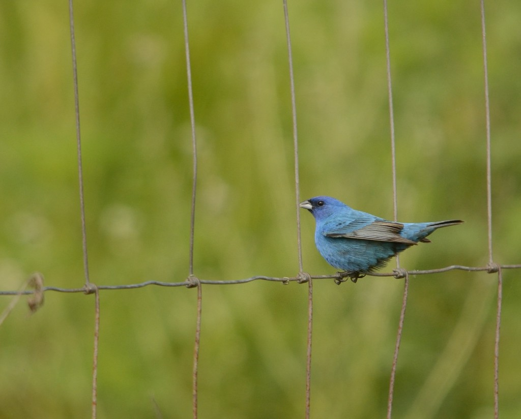 A quick trip to the parking lot of the North Shore trailhead at the end of Duda Rd. produced this lovely indigo bunting.