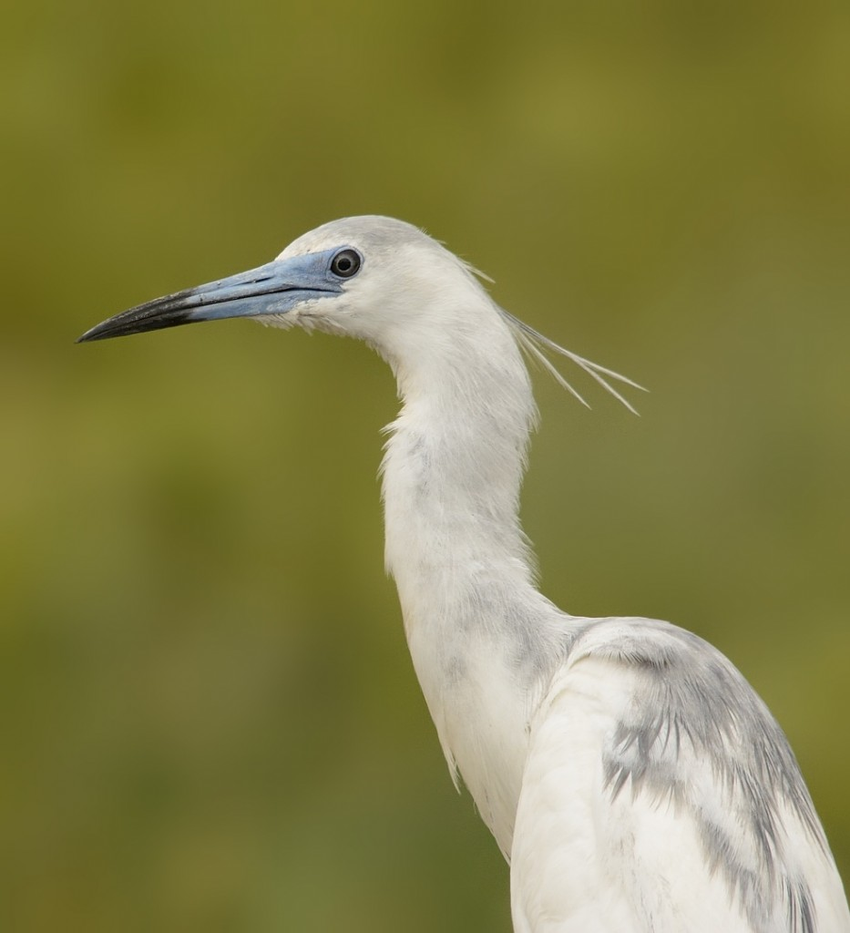 A juvenile little blue heron showing high breeding colors in the cere and base of the bill.  Yearling birds in juvenile plumage will sometimes breed in this species.