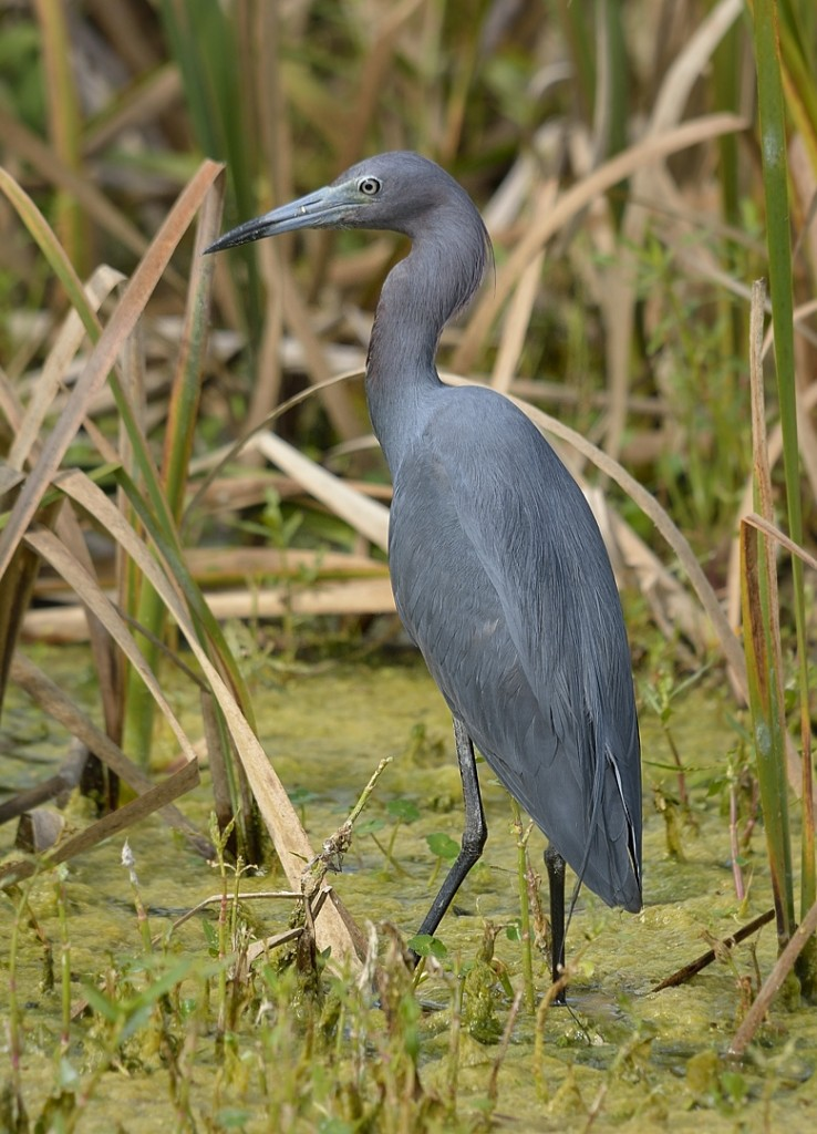 Little blue herons and green herons were probably the two most common waders I saw.