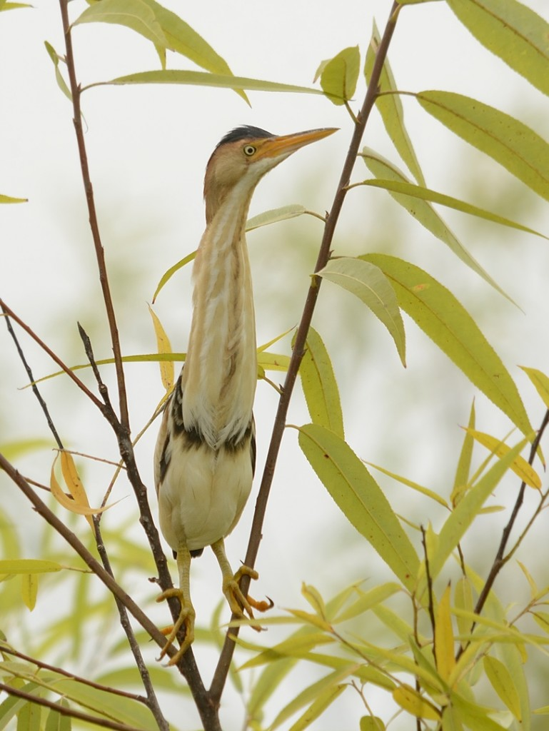 Least bittern in the willows.  You don't appreciate how long their neck is until they stick it out.