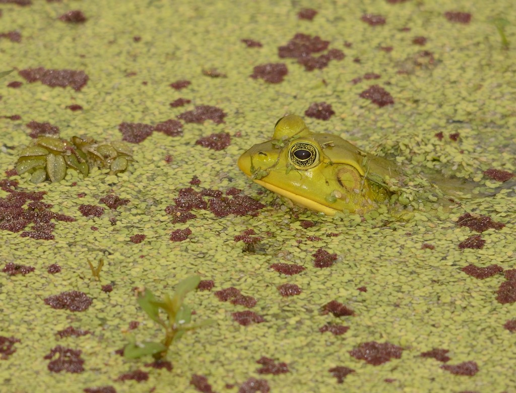 Pig frog (Lithobates grylio) surrounded by several floating aquatic plants, including Lemna sp., (duckweed),   Salvinia minima (water spangles), and Azolla filiculoides (American waterfern; not a fern).