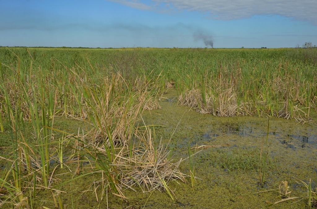 The vegetational composition of the wetland habitats is highly variable.  Many areas are dominated by cattails, usually an indicator of high nutrient levels (eutrophication).