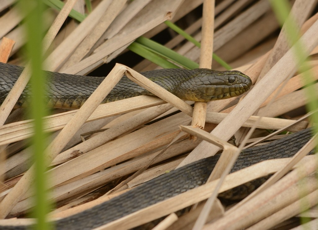 Not a bad day for herps.  This Florida green watersnake (Nerodia floridana) was basking in the dead cattails as the sun struggled to make an appearance.