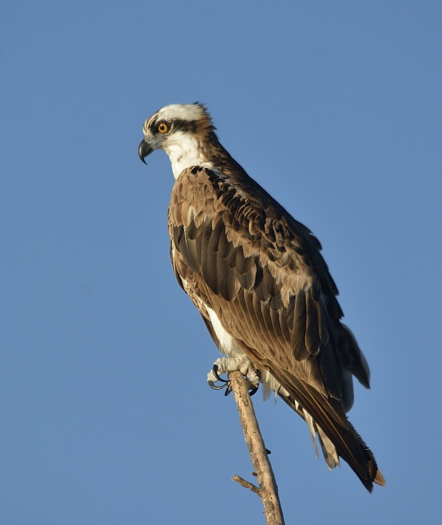 Ospreys were abundant on this lovely May morning, especially in the parts of the drive closer to Lake Apopka.