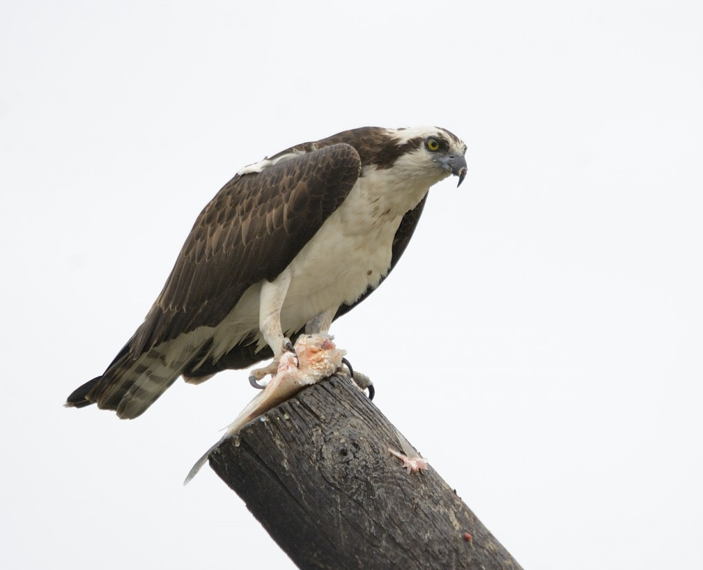 This osprey was sitting atop a leaning pole trying to eat his fish.