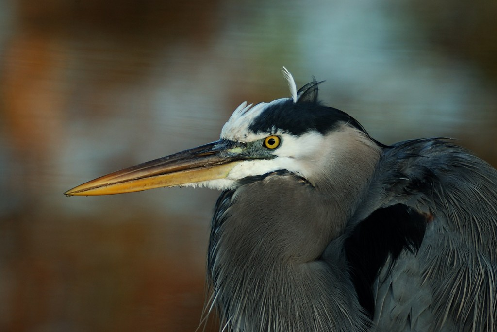 Seriously, any twit with a pinhole camera can get stunning closeups of great blue herons in Florida.  Which is not to say that I don't still photograph them on occasion.