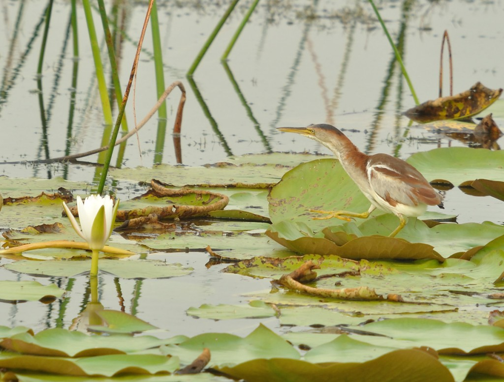 "I was moderately satisfied with this ""in-habitat"" shot of a least bittern from Viera Wetlands, but it wasn't really what I was hoping for."