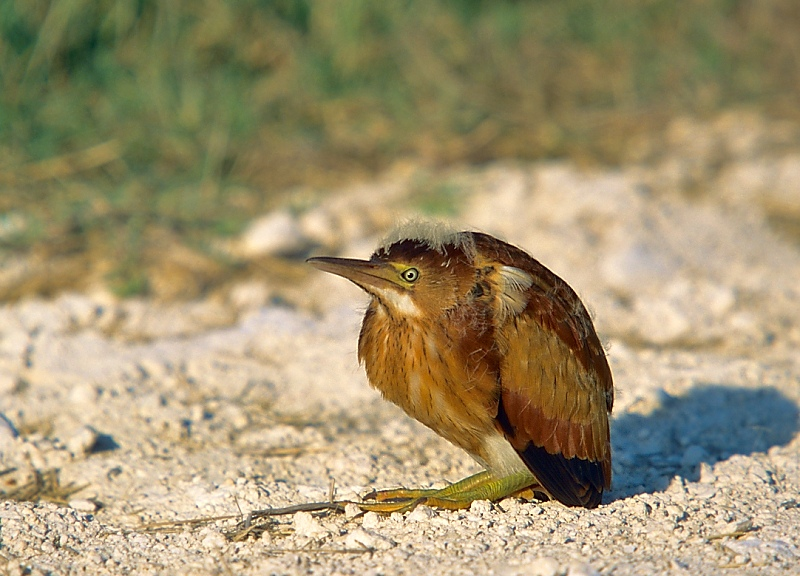 My favorite film image of a least bittern - a slightly out-of-place, befuddled looking youngun.